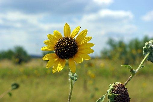 Sunflower Along Texas I40, Sunflower, Bloom, Yellow