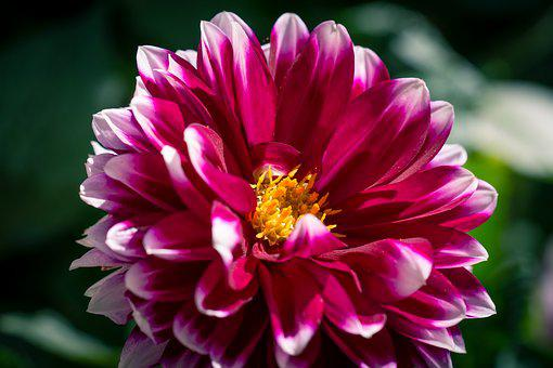 Dahlia, Flower, Blossom, Bloom, Pink, Plant, Nature