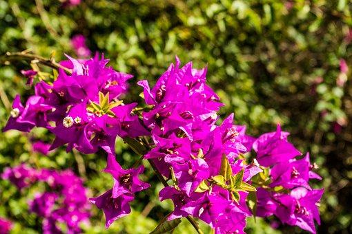 Bougainvillea, Bougainville, Flower, Purple, Tropics