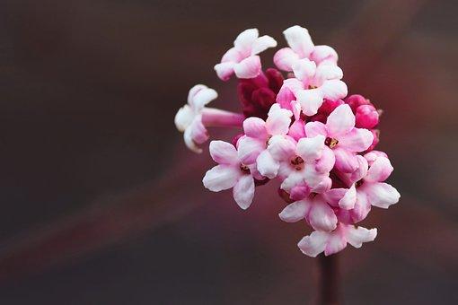 Bud, Prunus Dulcis, Almond Tree, Pink, Blossom, Bloom