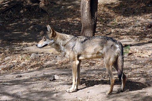 Wolf, Wildlife, Indian Wolf, Canis Lupus Pallipes