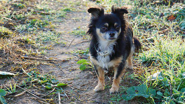Chihuahua, Dog, Purebred Dog, Pet, Cute, Small