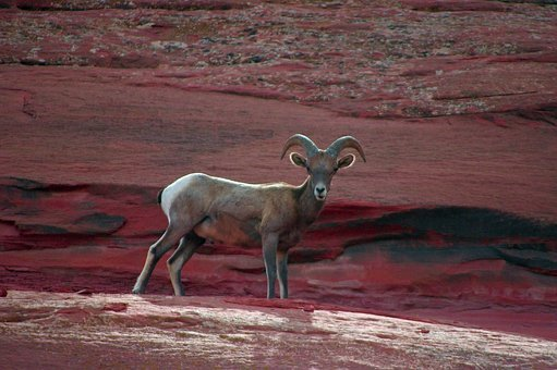 Young Desert Bighorn Ram, Bighorn, Sheep, Colorado