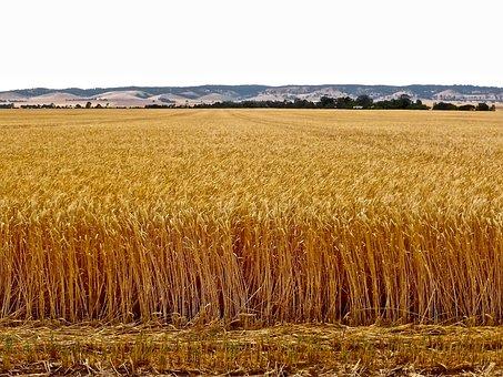 Wheat, Crop, Agriculture, Harvest, Farmland