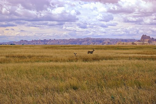 Mule Deer In Badlands Grass, Deer, Grass, Nature