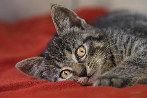Domestic Cat, Mackerel, Cat, Cat Face, Close Up