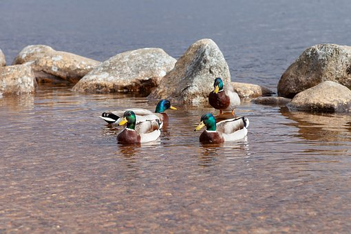 Ducks, Duck, Bird, Waterfowl, Plumage, Animal World