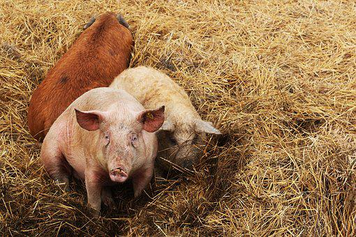 Pigs, Animals, Farm, Outdoor