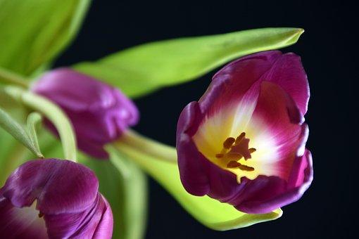 Tulip, Plant, Flowers, Tulips, Spring, Garden, Blossom