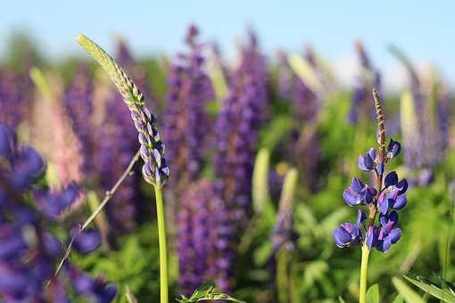 Flowers, Lupins, Lupine, Summer, Spring, Bloom, Purple
