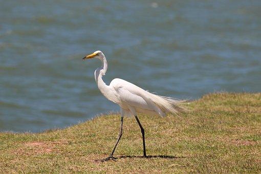 Great White Heron, Waterfowl, Bird, Great, Heron