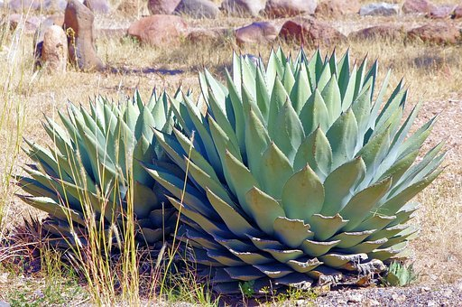New Mexico Agave, Plant, Succulent, Nature, Green