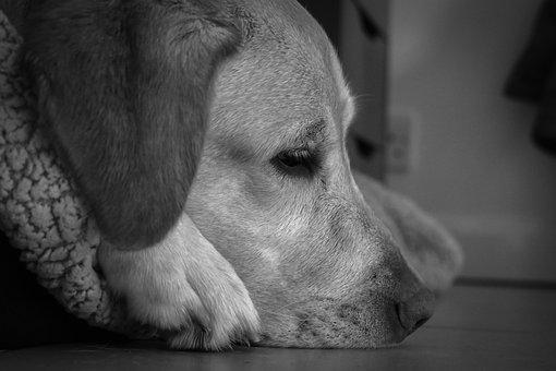 Labrador, Dog, Retriever, Thinking, Snout, Look