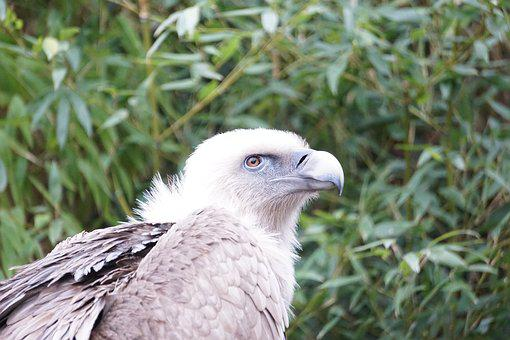 Vulture, Bird, Nature, Animal, Bird Of Prey, Bill, Zoo