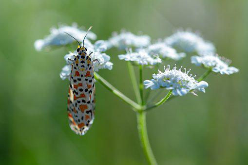 Moth, Macro, Insect, Butterfly, Nature, Wing, Insects