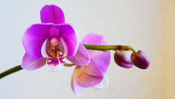 Orchid, Flowers, Bud, Flower, Plant, Nature, Tropical