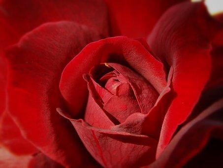 Rosa, Roses, Petal, Petals, Center, Focus, Macro, Red