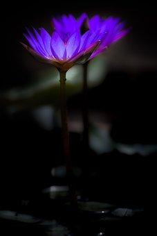 Waterlily, Flower, Zen, Bloom, Flora, Petals, Colors