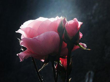 Flower, Flowers, Pink, Rosa, Roses, Petal, Petals
