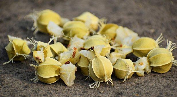 Phyllanthus, Emblica, Amla, Amalika, Seeds, Tree, Fruit