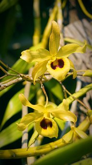 Yellow Chan, Yellow, Orchid, Flowers, Flower, Plant