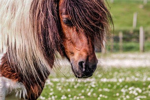 Pony, Shetland, Shetland Pony, Horse, Field