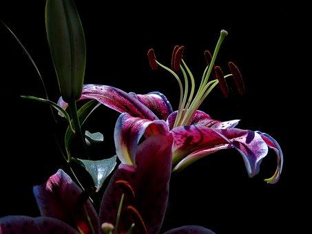 Lily, Stargazer, Oriental Lily, Hybrid, Close Up