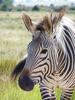 Hartmann's, Zebra, Mountain Zebra, Africa, Stripes