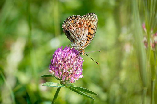 Butterfly, Animal, Insect, Summer, Meadow, Klee, Flower