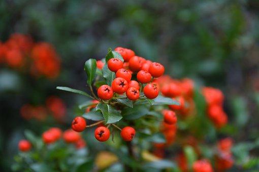 Rowan, Plant, Blooms, Nature, Tree, Foliage, Autumn