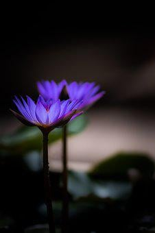 Waterlily, Zen, Bloom, Flora, Petals, Colors, Purple