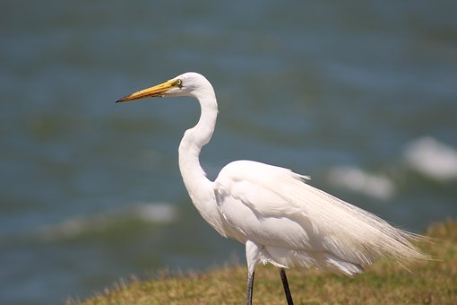 White Crane, Great, Waterfowl, Bird, Heron, Wetlands