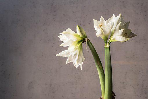 Flowers, White Flower, White, Flower, Garden, Bloom