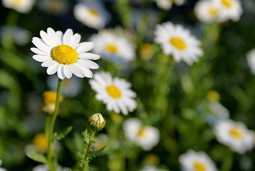 Daisy's In The Field, Flowers, White Flowers, Nature