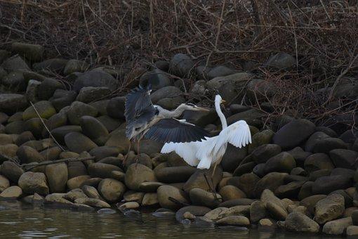 Animal, River, Waterside, Stone, Bird, Wild Birds