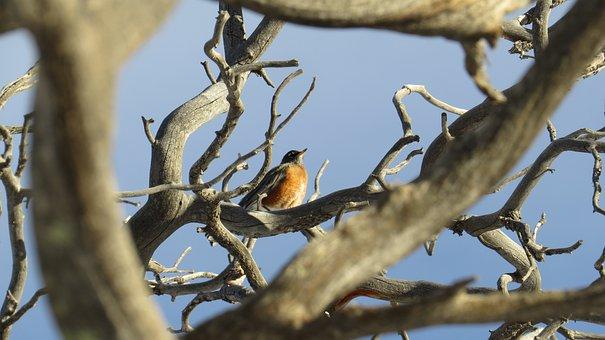 Robin, Tree, Bird, Nature, Animal, Wildlife, Wild