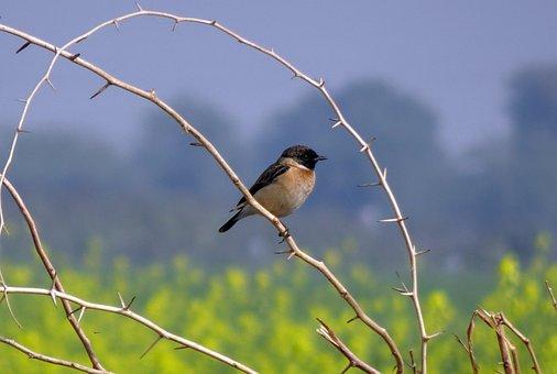 Bird, Wildlife, Avian, Siberian Stonechat