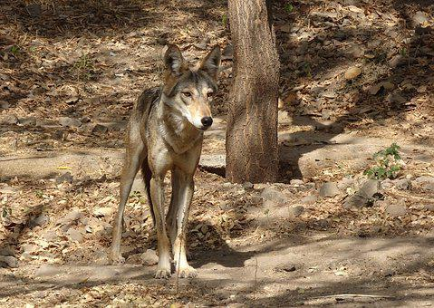 Wolf, Wildlife, Indian Wolf, Canis Lupus Pallipes