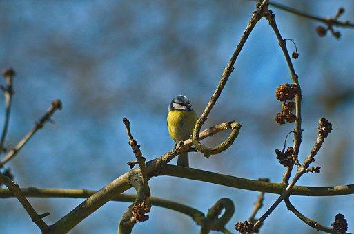 Chickadee, Bird, Nature, Yellow
