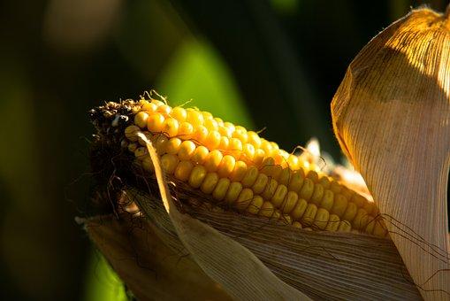Fall, Nature, Corn, Colorful, Yellow, Grains, Farm, Eat