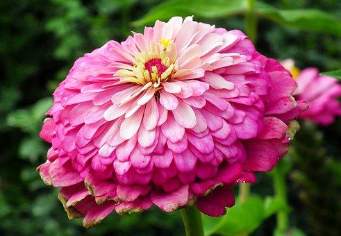 Zinnia, Flower, Color, Garden, Nature, Closeup, Summer