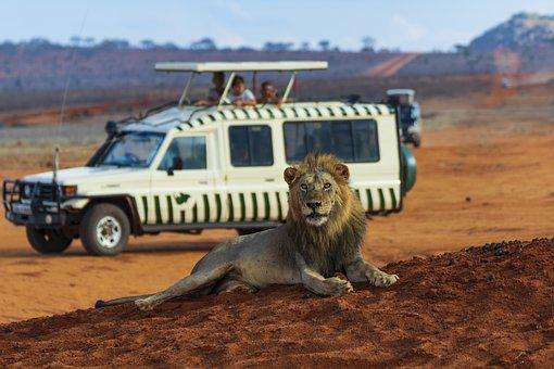 Lion, Safari, Animal, Animal World, Africa, Predator