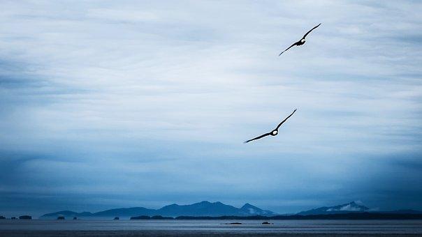 Bald Eagle, Approach, Alaska, Abendstimmung, Pacific