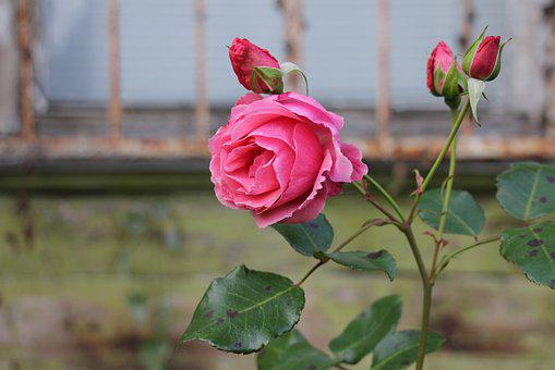Rose, Village, Pink, Garden, Flowers, Flower, At Home