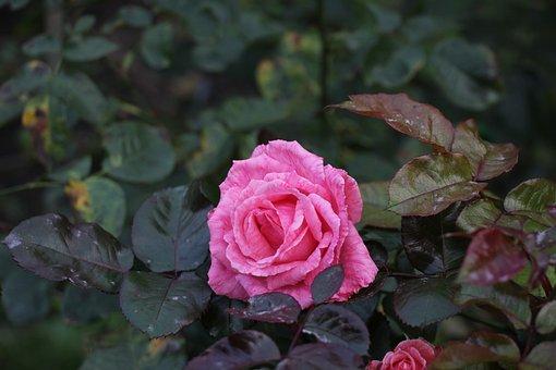 Rose, Autumn, Flower, Flora, Bloom, Pink, Mood, Rosa