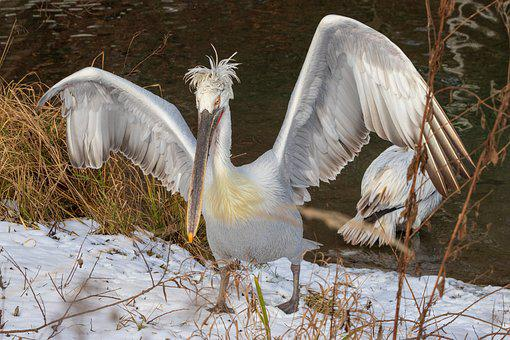Pelikan, Wing, Bird, Nature, Animal World, Bill, Wild