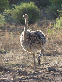 Bouquet, Ostriches, Bird, Flightless Bird