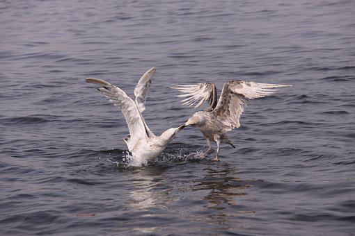 Gulls, Birds, Expensive, Natural, Wings, Sea, Seabird