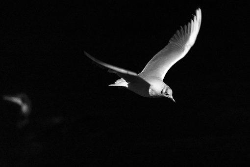 Birds, Flight, Night, Seagull, Freedom, Wing, Feather