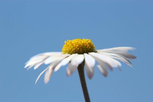 Daisy, Sky, Flower, Blue, Blossom, Bloom, Spring